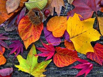 őszi levelek, gesztenye 198107
